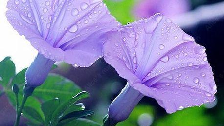 Semena fialové Petunie
