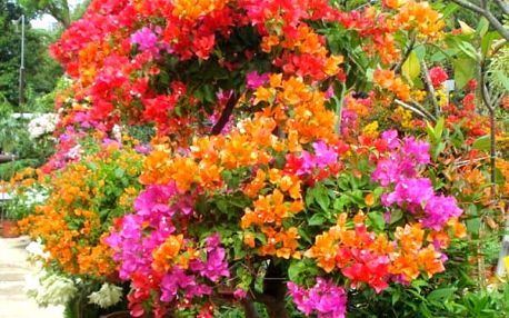100 semen barevné bonsaje