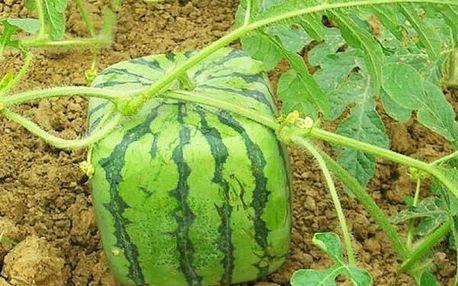 Semínka hranatého melounu - 50 kusů