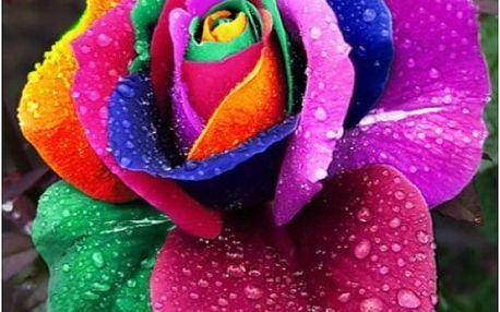 100 semínek růží - 25 barevných variant
