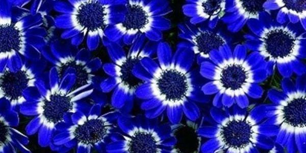 Starček modrý (Cineraria) - 20 kusů semínek