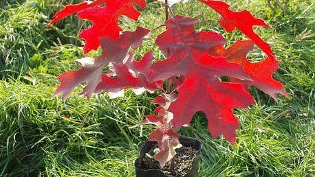 Semínka červeného javoru - 5 kusů