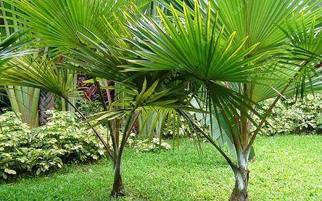 Semena čínské palmy - 5 kusů
