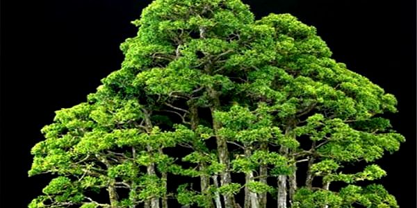 20 semínek bonsaie juniper