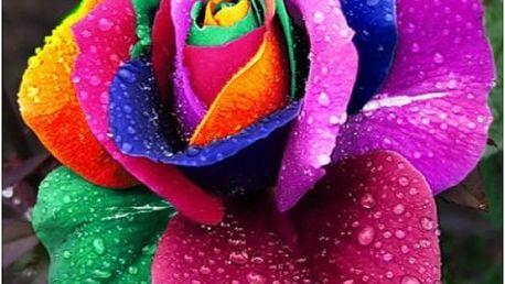 Vícebarevná růže - 100 semínek