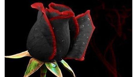 Černá růže s červenou hranou - 100 ks semínek