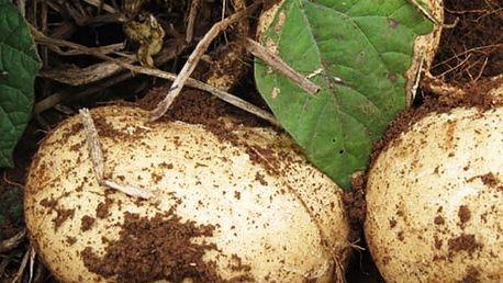 Semínka sladkých brambor - 100 kusů