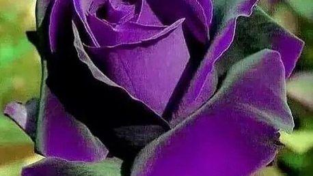 Semínka fialové růže - 200 ks