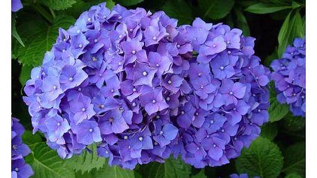20 semínek hortenzie - 7 druhů