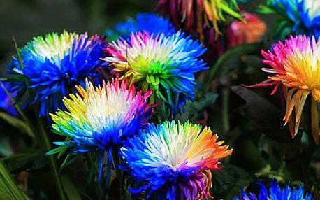 Vícebarevná chryzantéma - 120 ks semínek