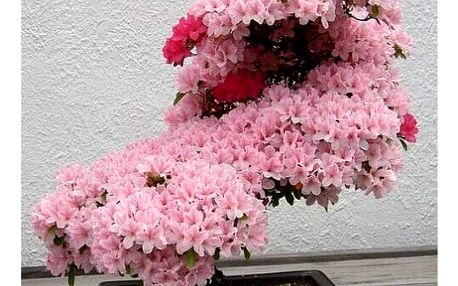 Semínka okrasné japonské sakury - 10 ks
