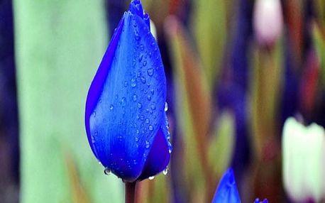 100 semen tulipánů
