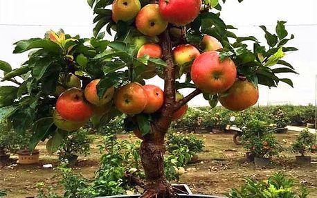 50 semen zakrslých jabloní