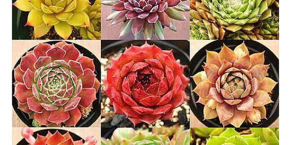 Semena různých druhů netřesku - 200 kusů