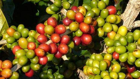Semena kávovníku - 20 kusů