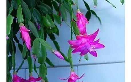 Vánoční kaktus - různé barvy