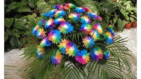 Duhová chryzantéma - 200 kusů