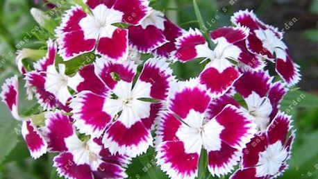 Semínka Hvozdíku - 13 barev