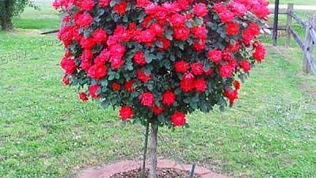 Červená růže - 100 semen