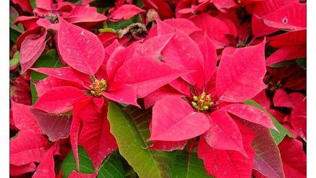 Pryšec nádherný (vánoční hvězda) - 100 semínek