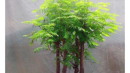 Metasekvoje čínská - 100 kusů semínek