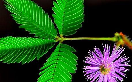 Semínka rostliny citlivka - 150 kusů