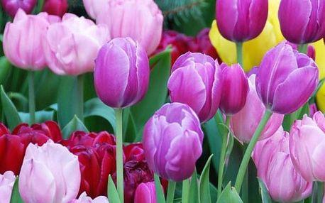 Cibulka tulipánu - různé druhy