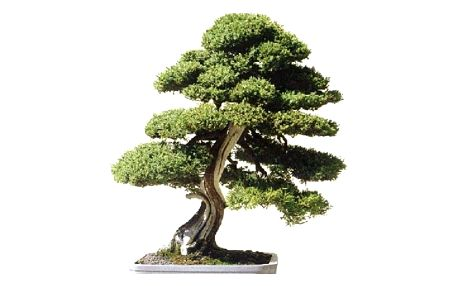 Semena himalájského cedru ve stylu bonsai - 20 ks