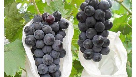 100 semen modrého hroznového vína