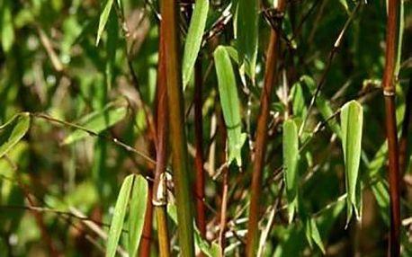 Černý bambus - semínka