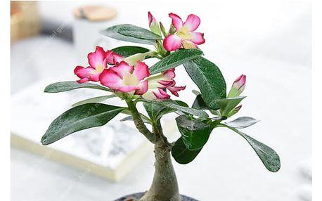 Semínko pouštní růže - 1 kus
