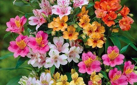 Mix semen alstromérie (lilie Inků) - 100 kusů