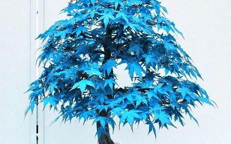 Semena modrého japonského javoru - 20 ks