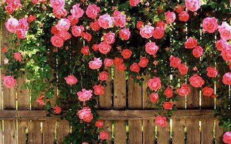 Pnoucí růže - 100 kusů semínek