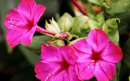Semena růžového jasmínu - 20 ks
