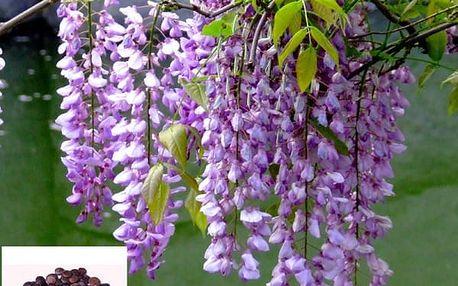 Semena krásné vistárie čínské - 10 ks