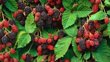 Velká ovocná sada keřů pro vaši zahrádku: 7 ks + 1 ks zdarma