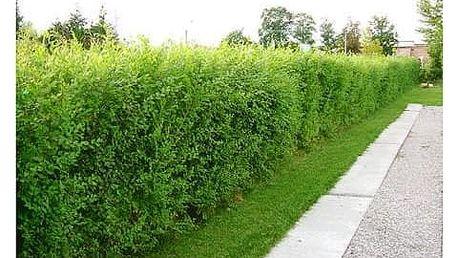Jilm sibiřský: 20x silné, dvouleté a tříleté a rychle rostoucí rostliny, možnost 0,5 kg hnojiva