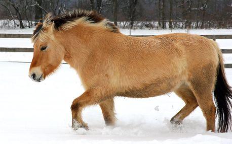 Vánoční jízdy na koních, kteří to nemají lehké