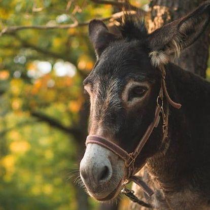Rodinná návštěva oslí farmy vč. jízdy na oslu