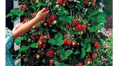 300 kusů semínek popínavé jahody