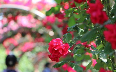 Slávnosť ruží v Badene a zámok Mayerling