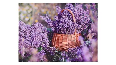 Obraz na plátně Orléans Lavender, 78 x 58,5 cm