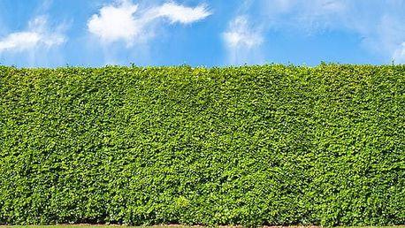 Jilm sibiřský - živý plot: 50-100 ks sazenic + 0,5 kg hnojiva