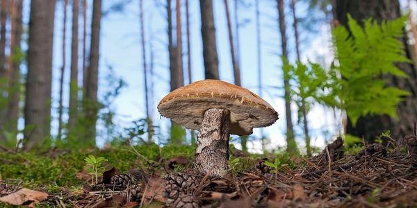 Podzimní Sadba hub - 8 druhů v balení: 1 až 4 balení vč. pošty