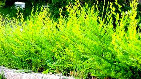 Hustý živý plot za jediný rok. Jilm Sibiřský - rychle rostoucí živý plot, nenáročný na pěstování.