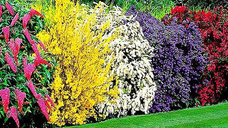 Úchvatný živý plot z nejkrásnějších okrasných keřů, hortenzií.