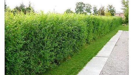 Jilm sibiřský: 20× 2leté či 3leté rychle rostoucí rostliny
