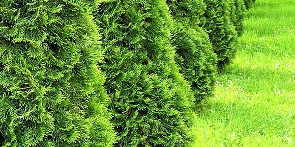 Thuja Smaragd pro stále zelený živý plot – 10 kusů kontejnerovaných sazenic – s hnojivem nebo bez.
